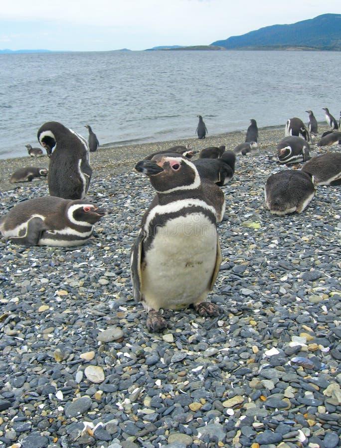 pingwinu magellan pobliski ushuaia zdjęcie royalty free