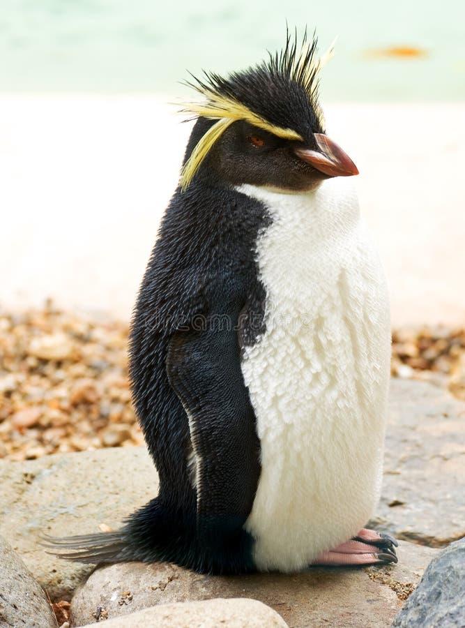 pingwinu rockhopper zdjęcia royalty free