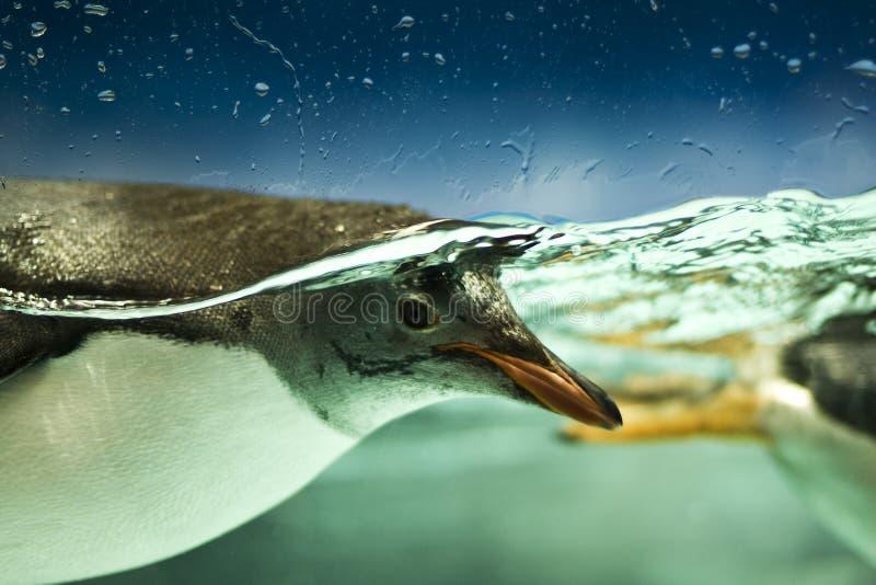 pingwinu underwater obraz stock