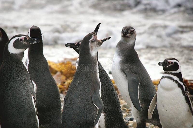 pingwiny śpiewać zdjęcia stock