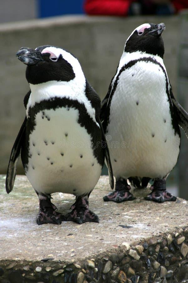 pingwiny fotografia royalty free