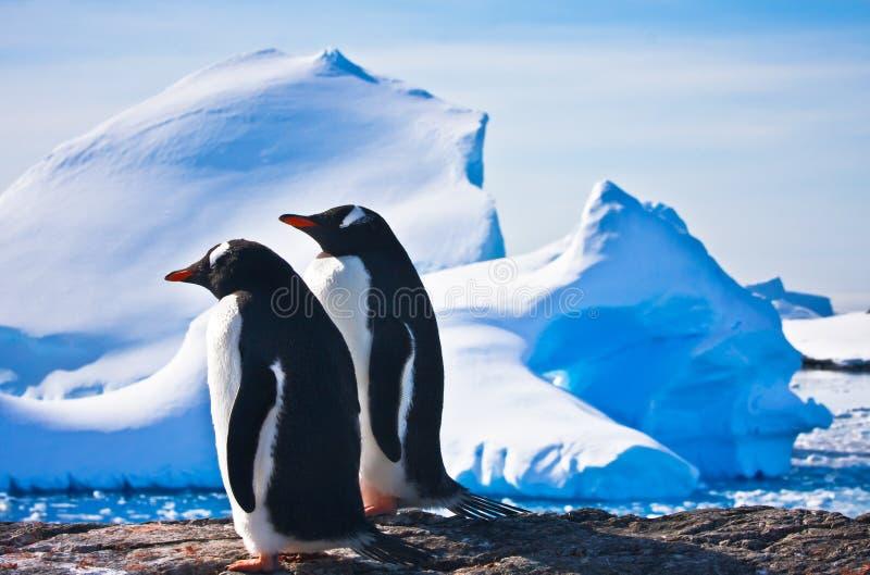 pingwiny dwa fotografia royalty free