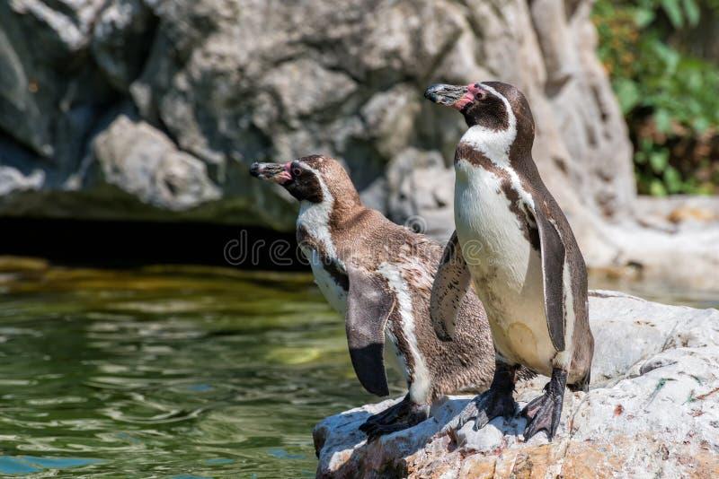 pingwiny galapagos zdjęcie royalty free