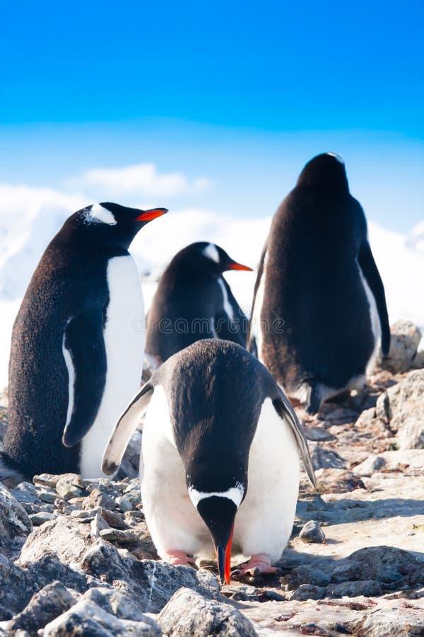 Pingwiny na skale fotografia stock