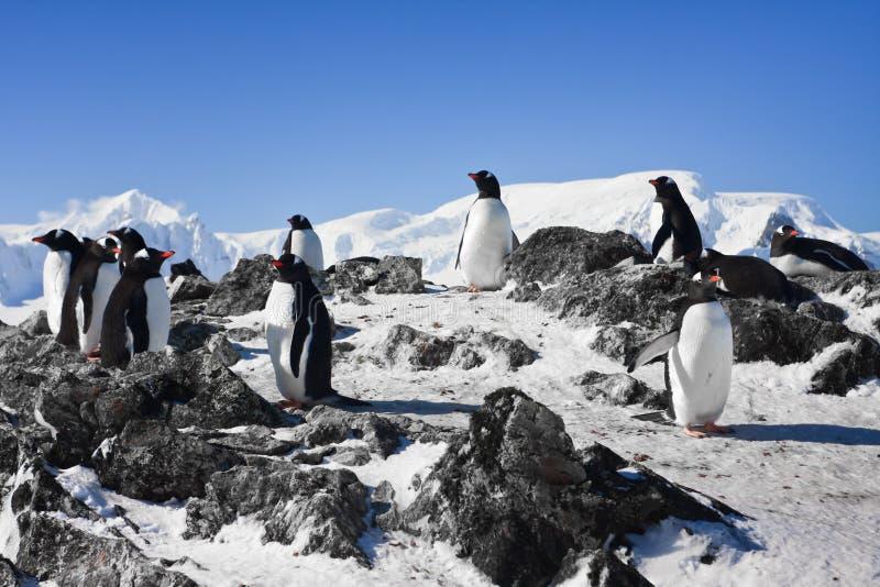 Pingwiny na skale obraz stock