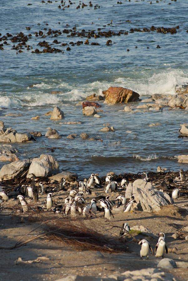 Pingwiny na skalistej plaży fotografia royalty free