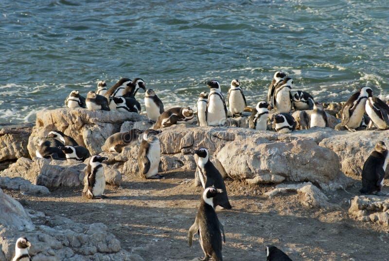 Pingwiny na skalistej plaży zdjęcia stock