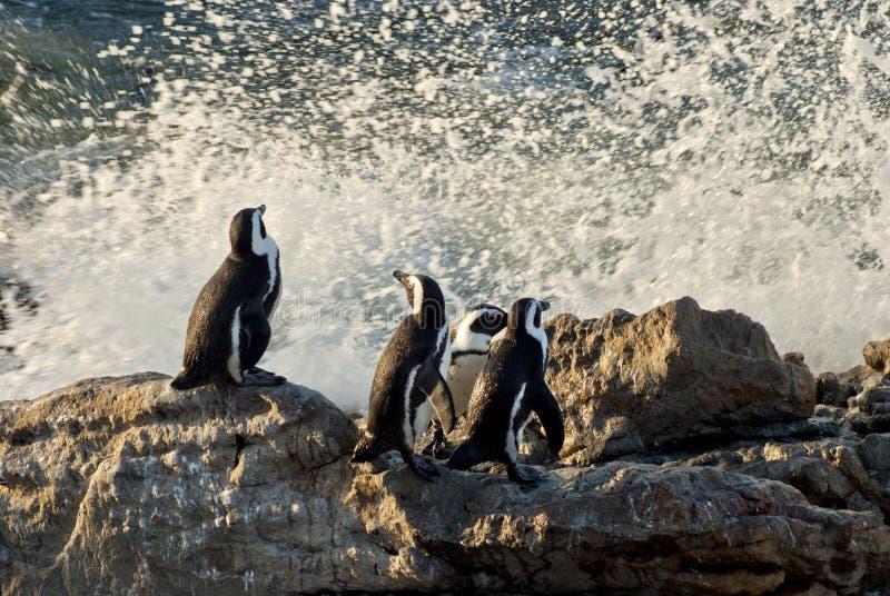 Pingwiny na skalistej plaży obrazy royalty free