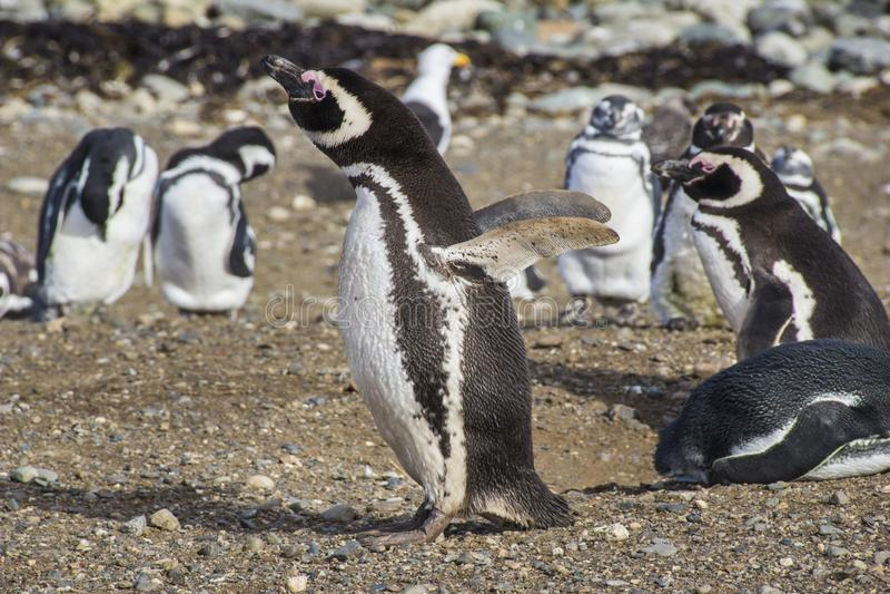 Pingwiny wśrodku świętego Magdalena wyspy, Patagonia obraz stock