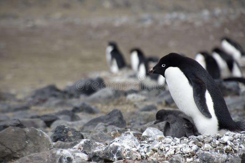 Pingwiny w Antarctica fotografia royalty free