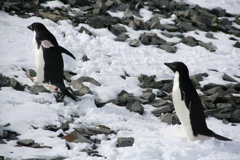 pingwiny wspinaczkowi adelie wzgórza zdjęcie royalty free