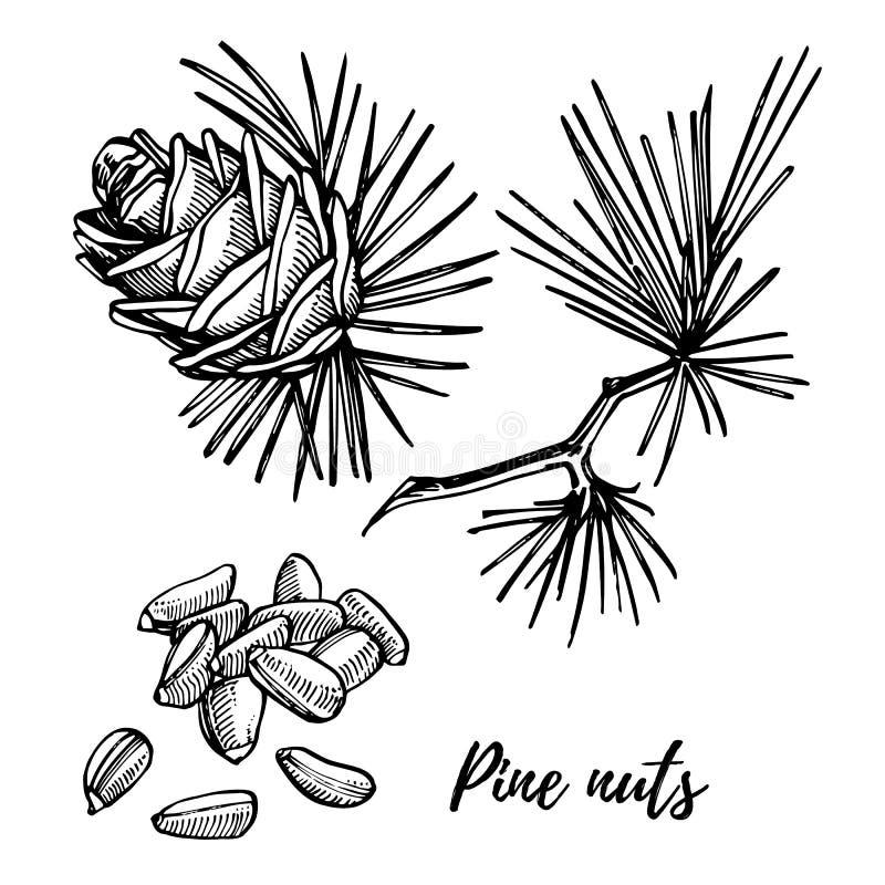 Pinhões e ilustração tirada mão do vetor do cone do cedro ilustração stock