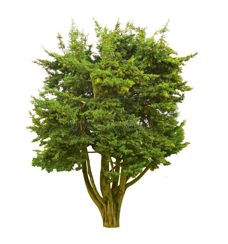 Pinheira Única isolada, evergreen leafut em fundo branco com caminho de recorte imagens de stock