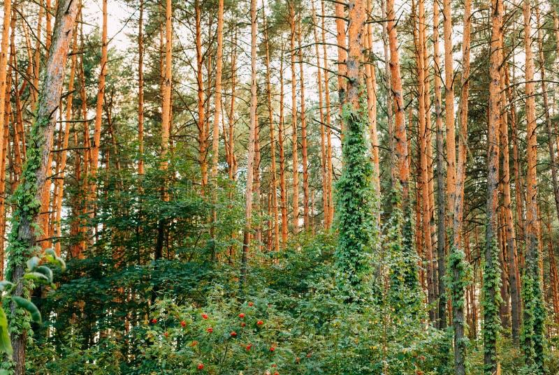 Pinheiral denso Forest Of Tall Thin Pines do verão, Enlaced pela hera selvagem imagem de stock