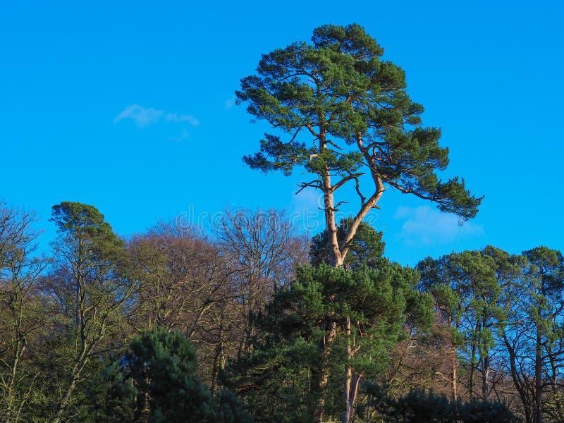 Pinheiro alto em uma madeira com um céu azul foto de stock