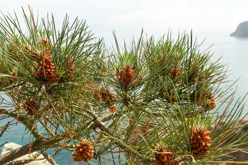 Pinheiro com os cones do pinho no fundo do mar imagens de stock
