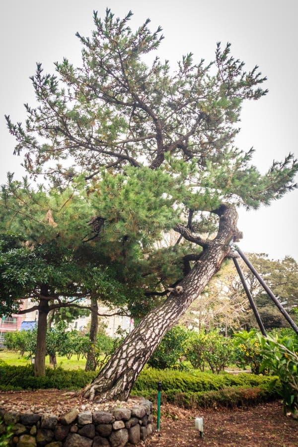Pinheiro de inclinação em Jeju Mokgwana, o buildin restante o mais velho imagens de stock royalty free