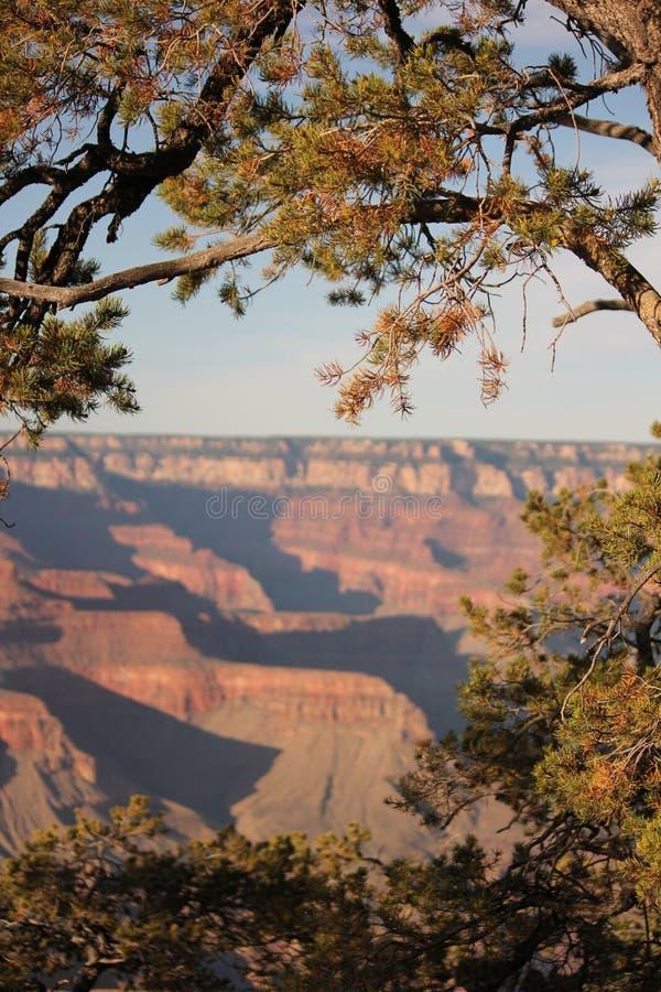 Pinheiro de Pinyon em Grand Canyon fotos de stock royalty free
