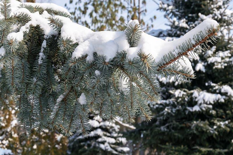 Pinheiro de prata coberto com a neve fotografia de stock royalty free