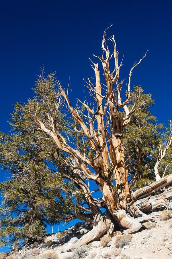 pinheiro do Cerda-cone imagens de stock