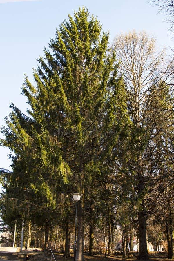 Pinheiro em um parque da cidade em um fundo do céu azul foto de stock
