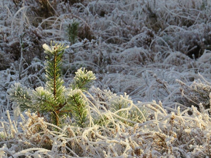 Pinheiro fresco na neve ensolarada imagem de stock royalty free