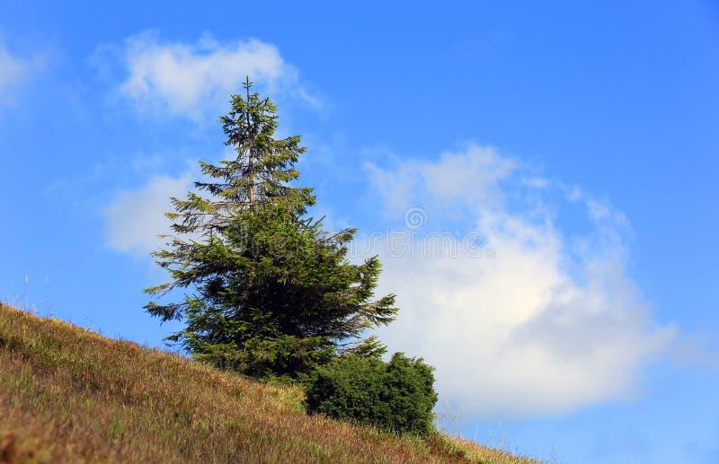 Pinheiro na inclinação de montanha imagens de stock royalty free