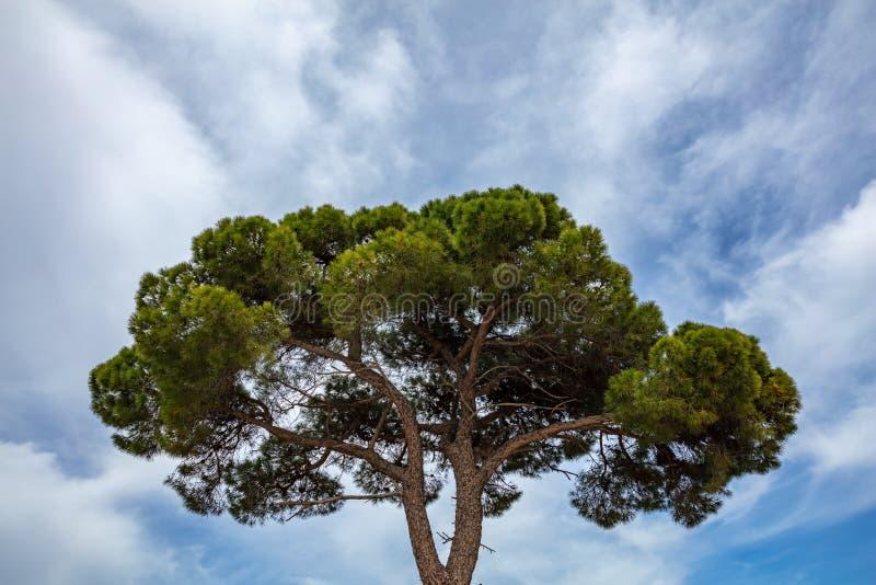 Pinheiro no fundo do céu azul, parque nacional de Schinias, Grécia imagem de stock royalty free
