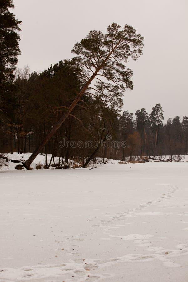 Pinheiro no lago fotografia de stock royalty free