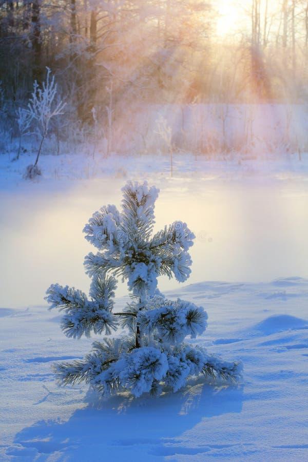 Pinheiro pequeno coberto de neve imagens de stock
