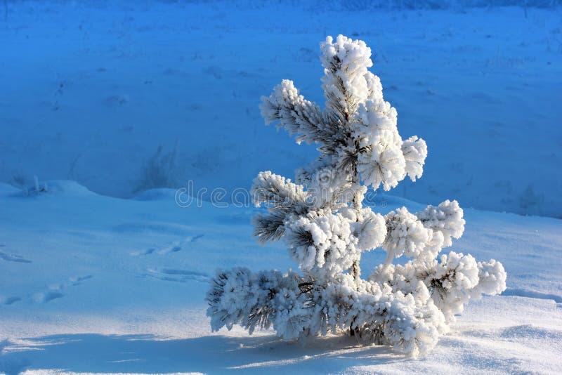Pinheiro pequeno coberto de neve fotografia de stock