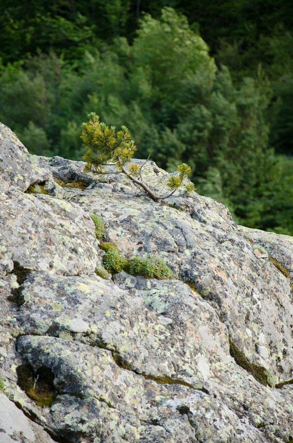 Pinheiro pequeno em uma rocha imagens de stock