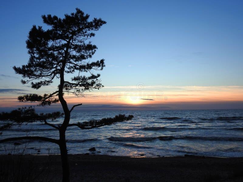 Pinheiro perto do mar Báltico em cores do por do sol, Lituânia fotografia de stock royalty free