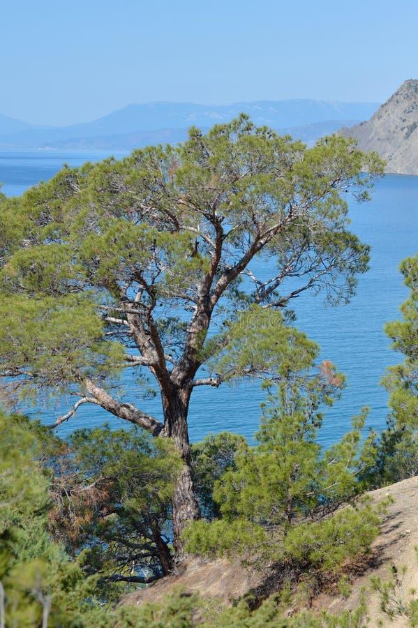 Pinheiro raro em Crimeia na rocha pelo Mar Negro imagens de stock