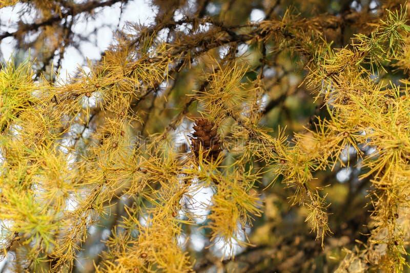 Pinheiro seco com os cones no fundo do mar ramos secos das ?rvores e dos cones fotografia de stock royalty free