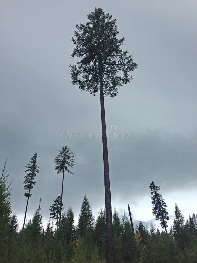 Pinheiro solitário em Autumn Forest fotografia de stock royalty free