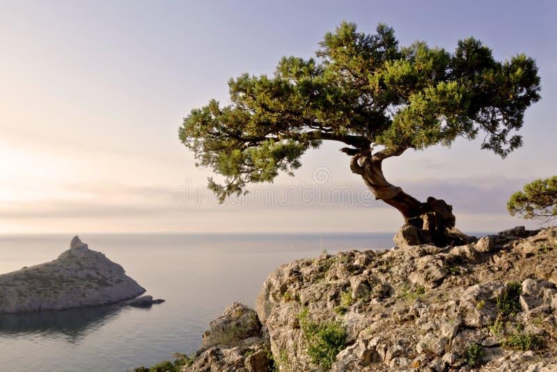 Pinheiro sozinho que cresce na inclinação da montanha na Crimeia fotografia de stock