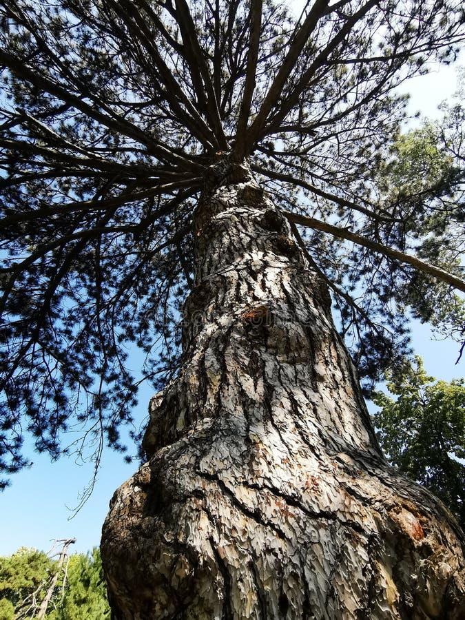 Pinheiro velho - casca do tronco da vista inferior foto de stock