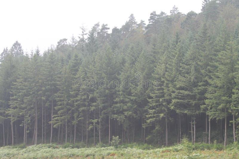Pinheiros alinhados perfeitamente na névoa imagem de stock royalty free