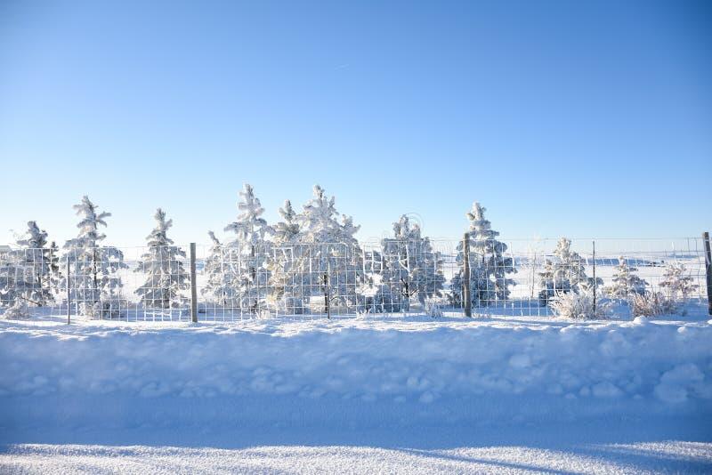 Pinheiros ao longo de Fenceline na neve fotografia de stock royalty free