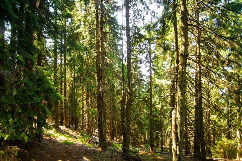 Pinheiros bonitos em montanhas foto de stock royalty free