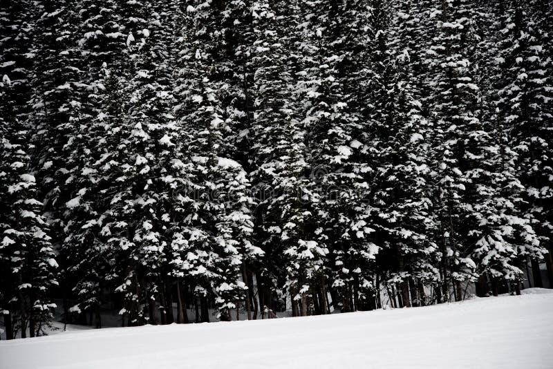 Pinheiros cobertos de neve fotos de stock