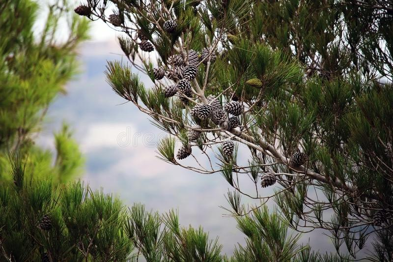 Pinheiros com os cones contra o céu azul Cones de Brown no pinho ou no pinho preto Agulhas longas bonitas no ramo imagem de stock