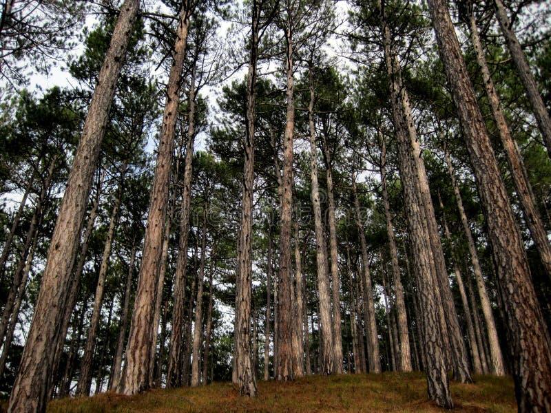 Pinheiros de Forest Crimean imagem de stock