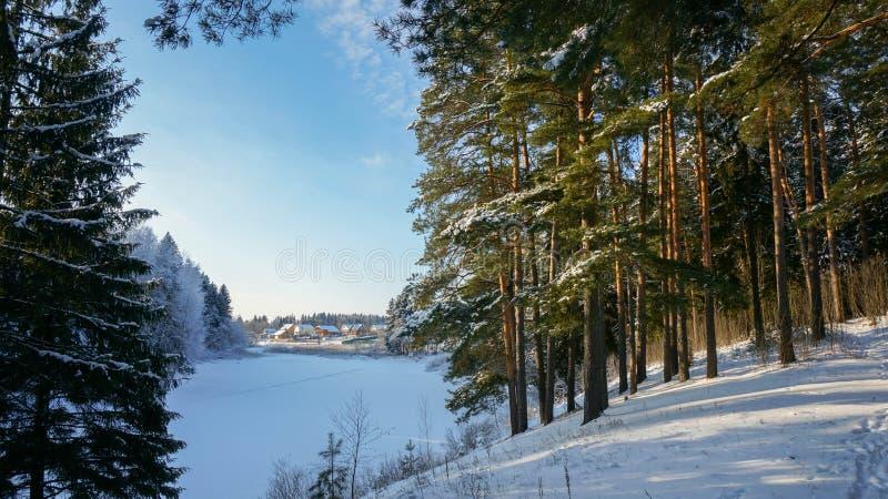 Pinheiros dourados nos bancos do rio no inverno fotografia de stock royalty free