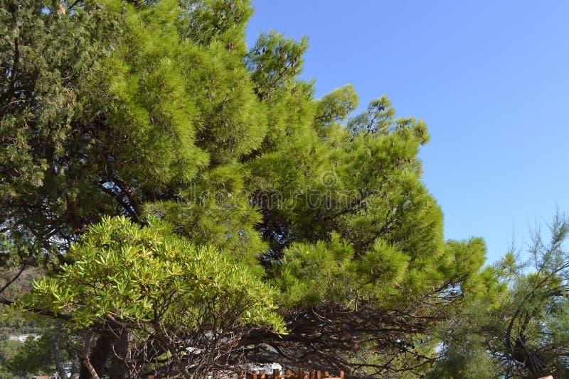 Pinheiros e abeto bonitos contra o céu azul montenegro fotografia de stock royalty free