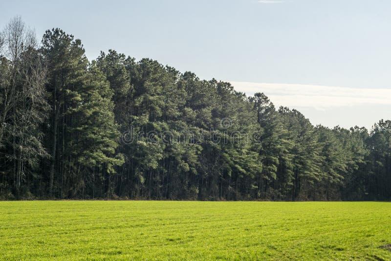 Pinheiros em um campo gramíneo verde foto de stock royalty free