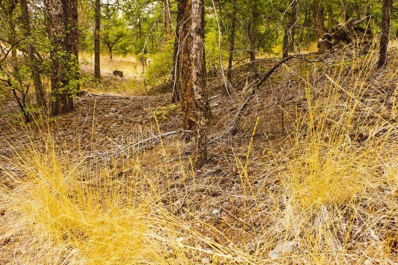 Pinheiros inferiores duff da floresta imagens de stock