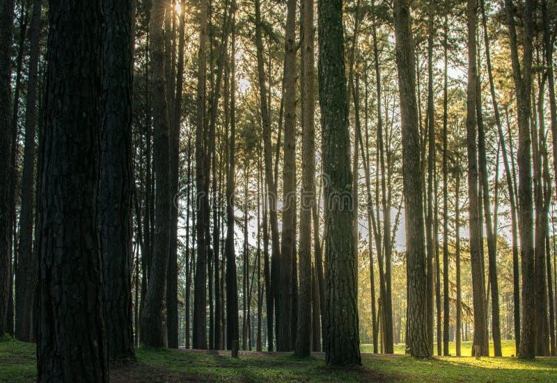 Pinheiros na casca da floresta e os cantos altos do pinho alto imagem de stock