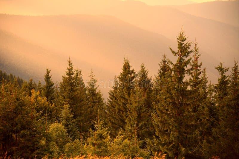 Pinheiros na luz morna do sol e em montes enevoados fotografia de stock